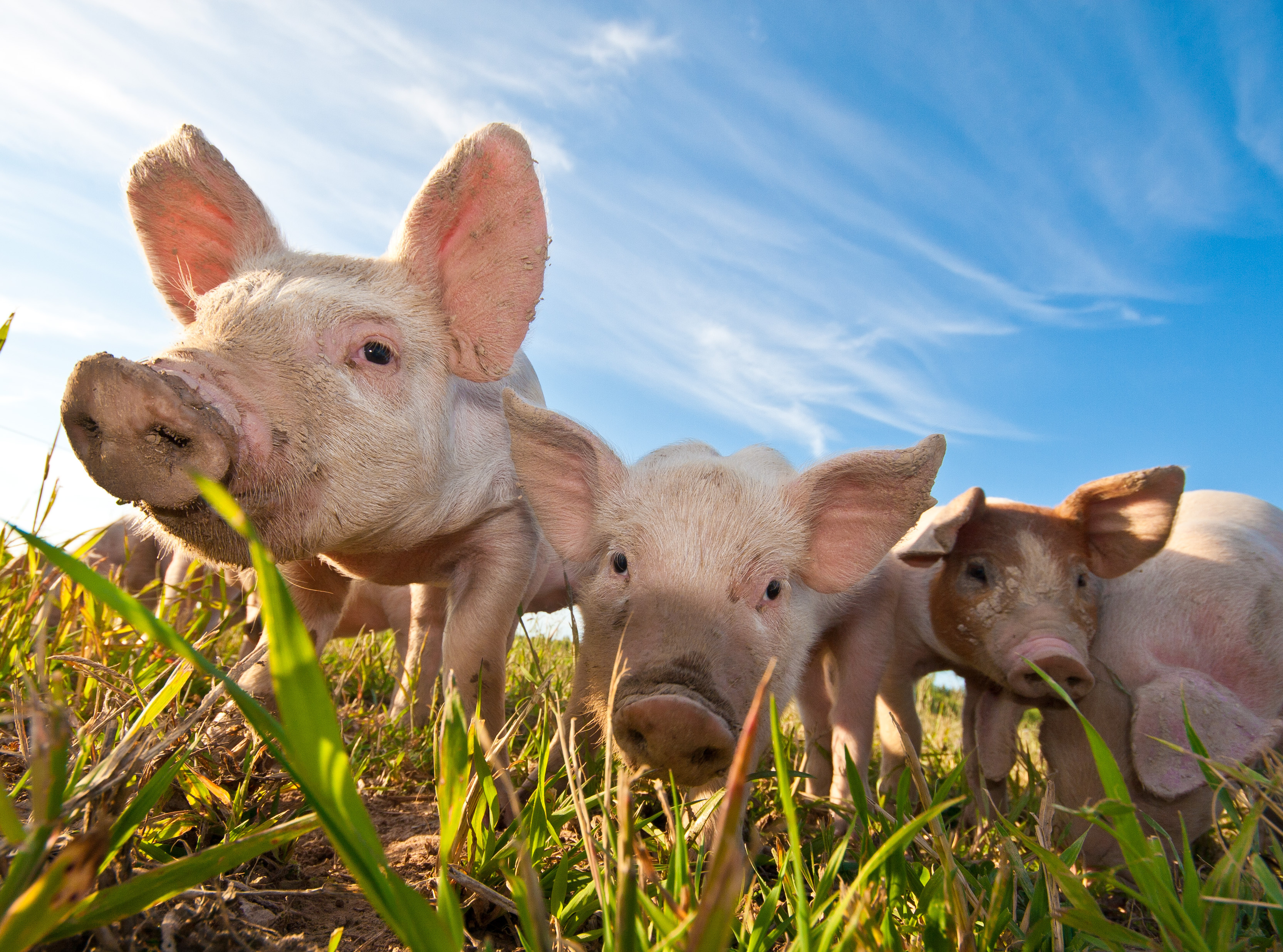 Pigs use of language in animal farm